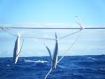 ②ハワイ⇒タヒチ:2010年07月16日飛魚の干物
